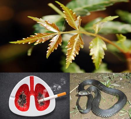 Nim (neem) và các bệnh mắt, phổi, dị ứng, hút thuốc, say rượu