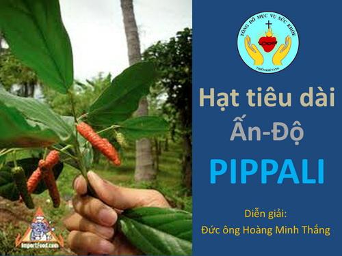 Hạt tiêu dài Ấn-Độ – Pippali – tiêu Lốt: phòng chữa nhiều bệnh