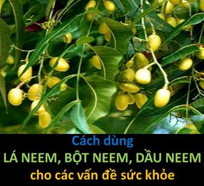 Cách dùng lá – bột – dầu nim (neem) cho các vấn đề sức khỏe